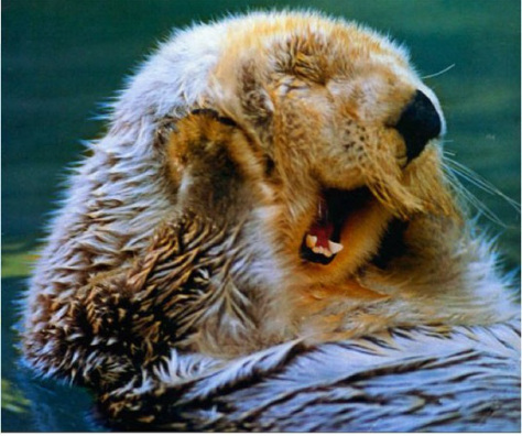 crown-conservation-a-lazey-otter-yawning