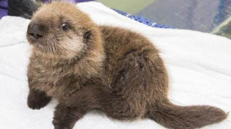 angelcraft-crown-conservation-meet-luna-the-shedd-aquariums-newest-little-baby-sea-otter