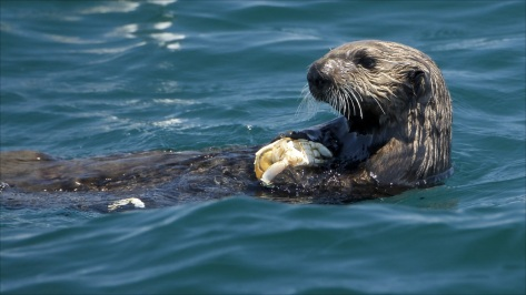 crown-conservation-photo-1-zen-photography-a-sea-otter-about-to-injest-a-crab